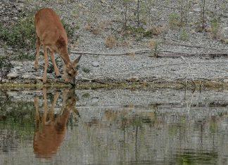Chevreuil cours d'eau