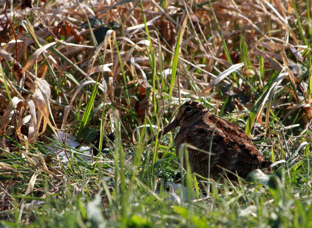 Bécasse dans un champ en Bretagne