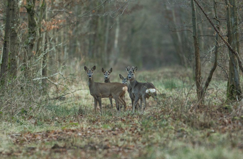Groupe de chevreuil en hiver dans le Tarn et Garonne