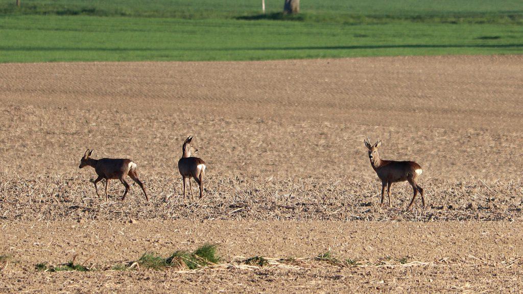 Chevreuils dans un champ en Bretagne