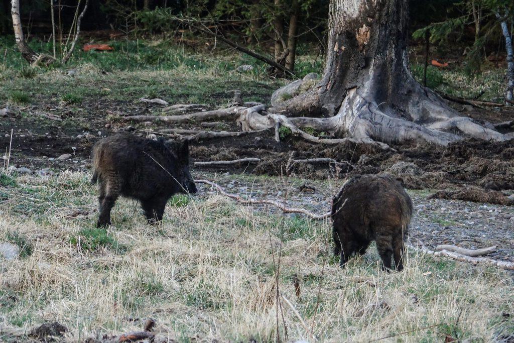Sanglier en forêt en Touraine