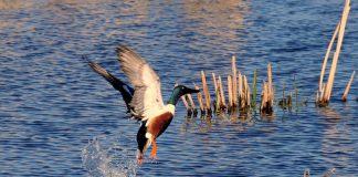 chasse canards souchet camargue