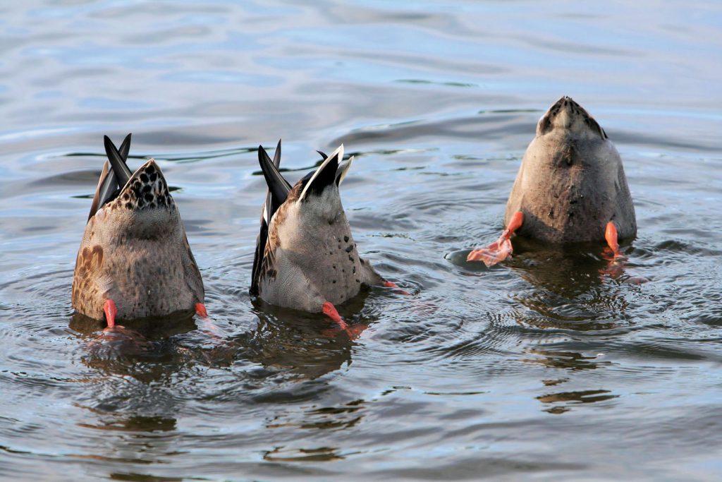 repas d'un groupe de canards