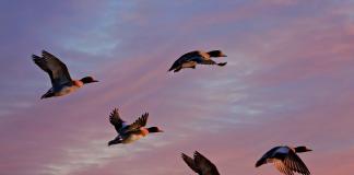 vol de canard dans le nord