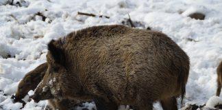 Sanglier dans la neige dans les Vosges