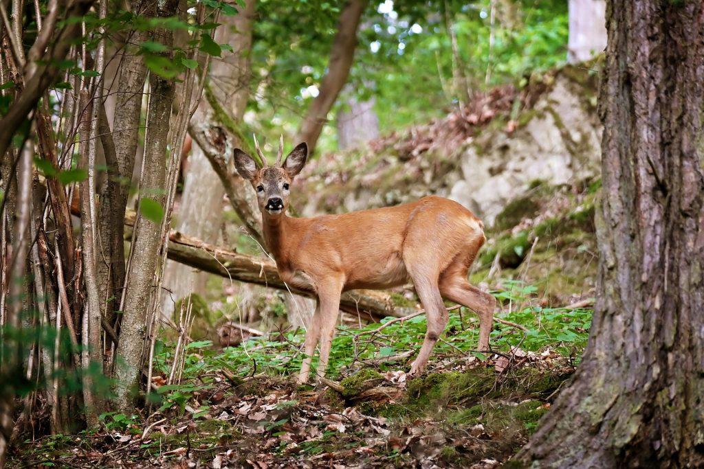 Brocard dans une forêt de Lozère