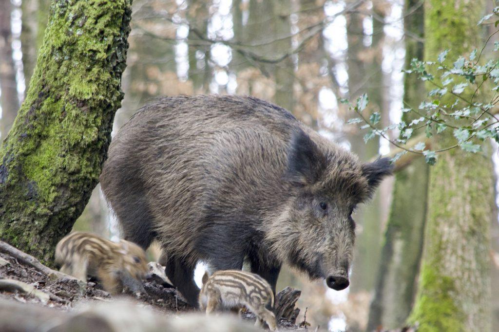 chasse au sanglier dans le Centre-Val de Loire