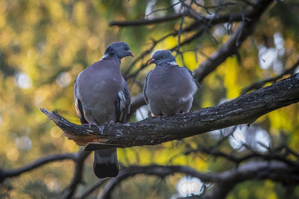 Couple de palombe
