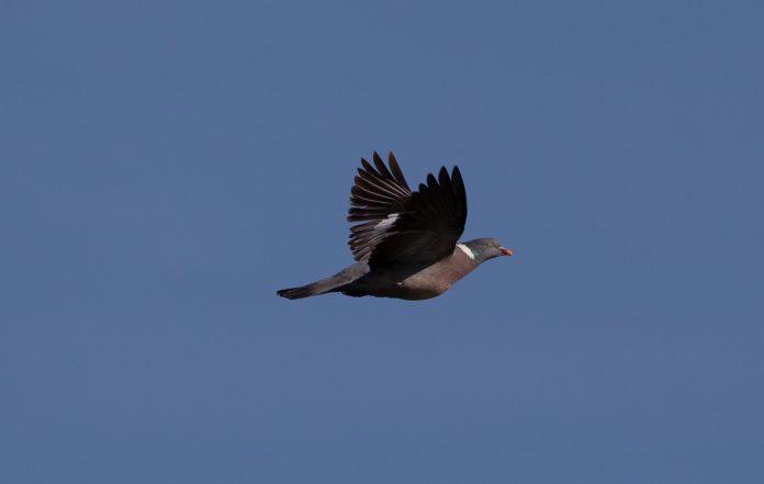 Vol de palombe